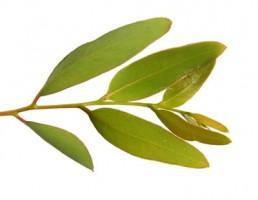 Jarabe de eucalipto