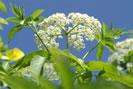 Jarabe de flores de saúco